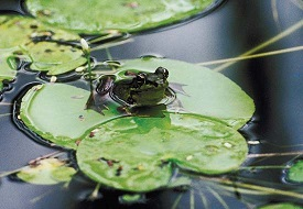 Lily pad with frog (27K)