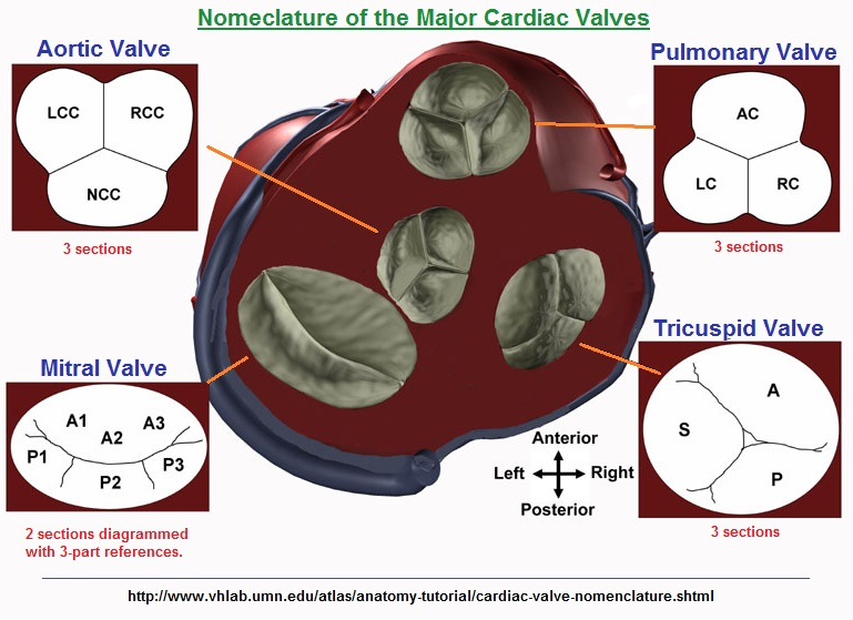 Nomeclature of the Major Cardiac Valves