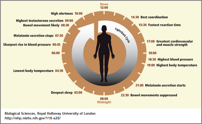 biological rhythms chart (160K)