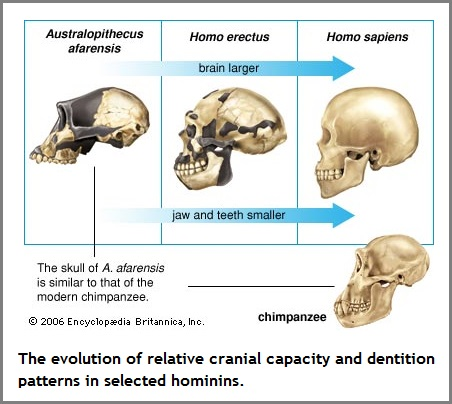cranial capacity evolution (63K)