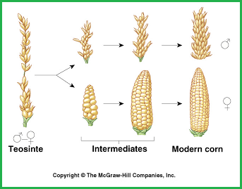 Simplifed configuration of corn's evolutionary stages