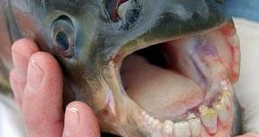 Pacu fish with human teeth