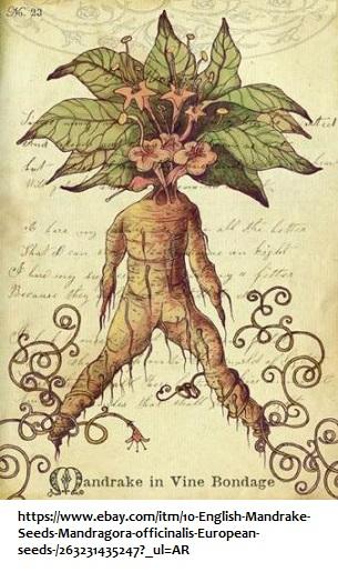 Mandrake plant image 3