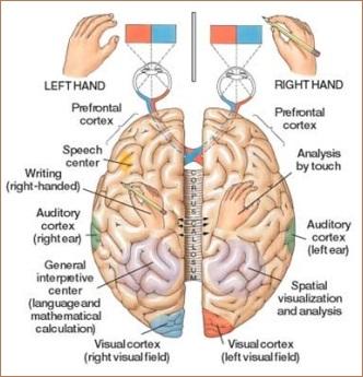Brain Hemisphere Attributes image 1