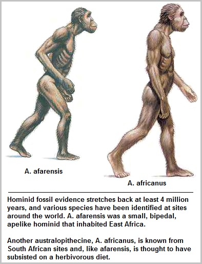 A. afarensis and A. africanus