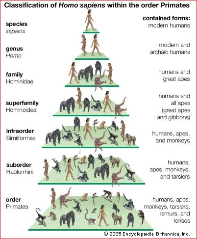 Primates classification system