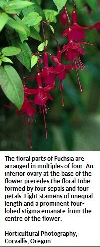 Fuchsia flower (53K)