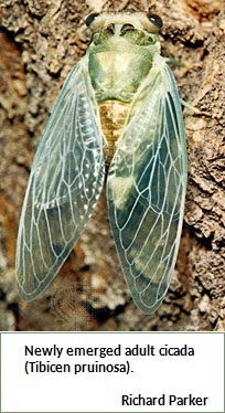 Cicada (48K)