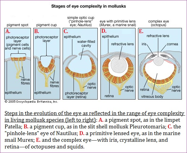Evolutionary stages of eye complexity