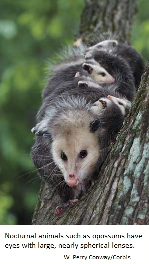 Eyes of the Oppossum