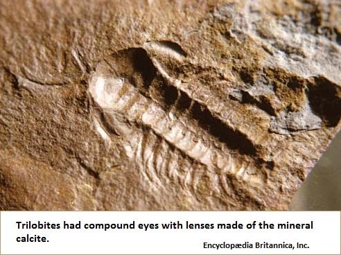 Image of a trilobite
