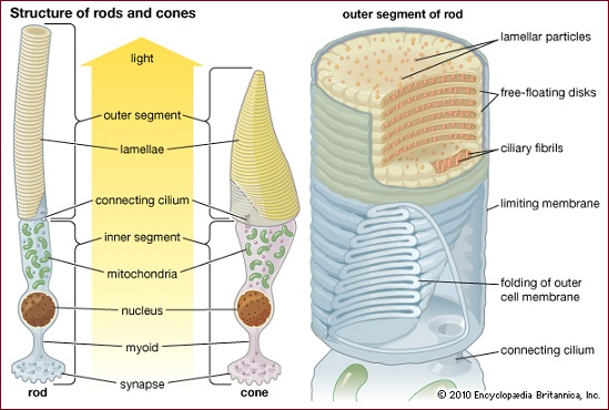 cones and rods of the eyes