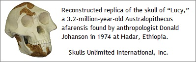 Replica of Lucy skull
