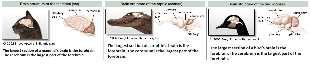 cat, reptile and bird brains