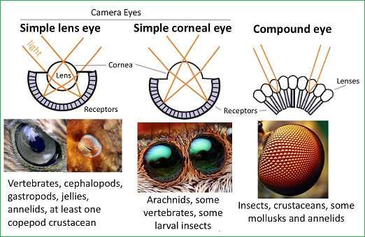 Comparing three types of eyes