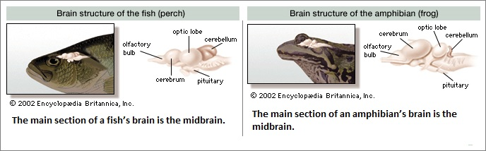 fish and frog brain structures
