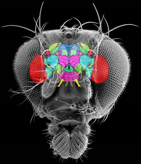 Fruit fly brain