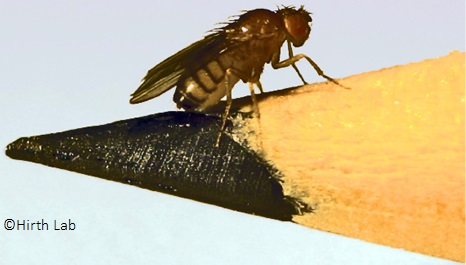 Fruit fly and a pencil