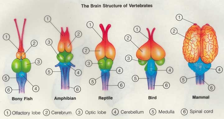 Vertebrate Brain Structures